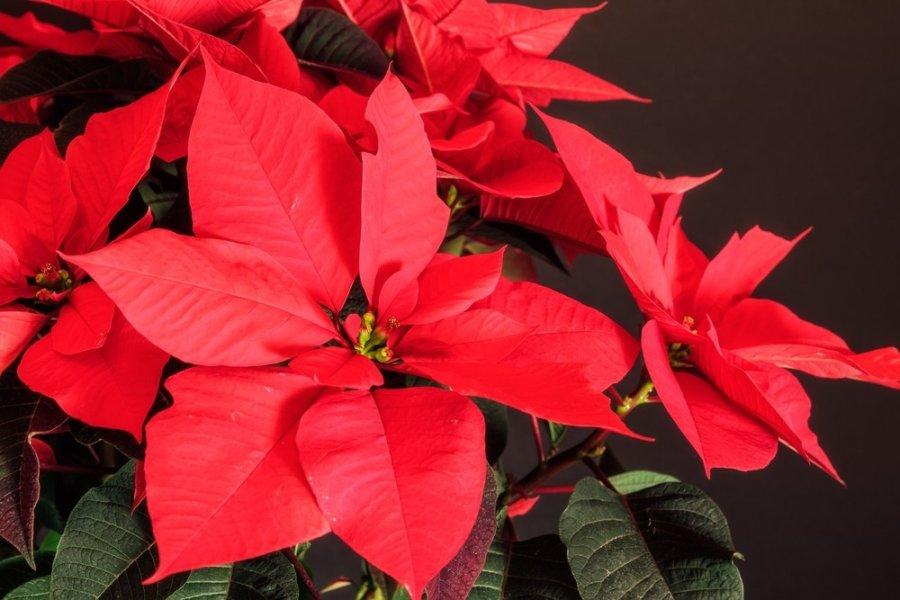 Kalėdų žvaigždė arba puansetija. Kaip ja pasirūpinti?
