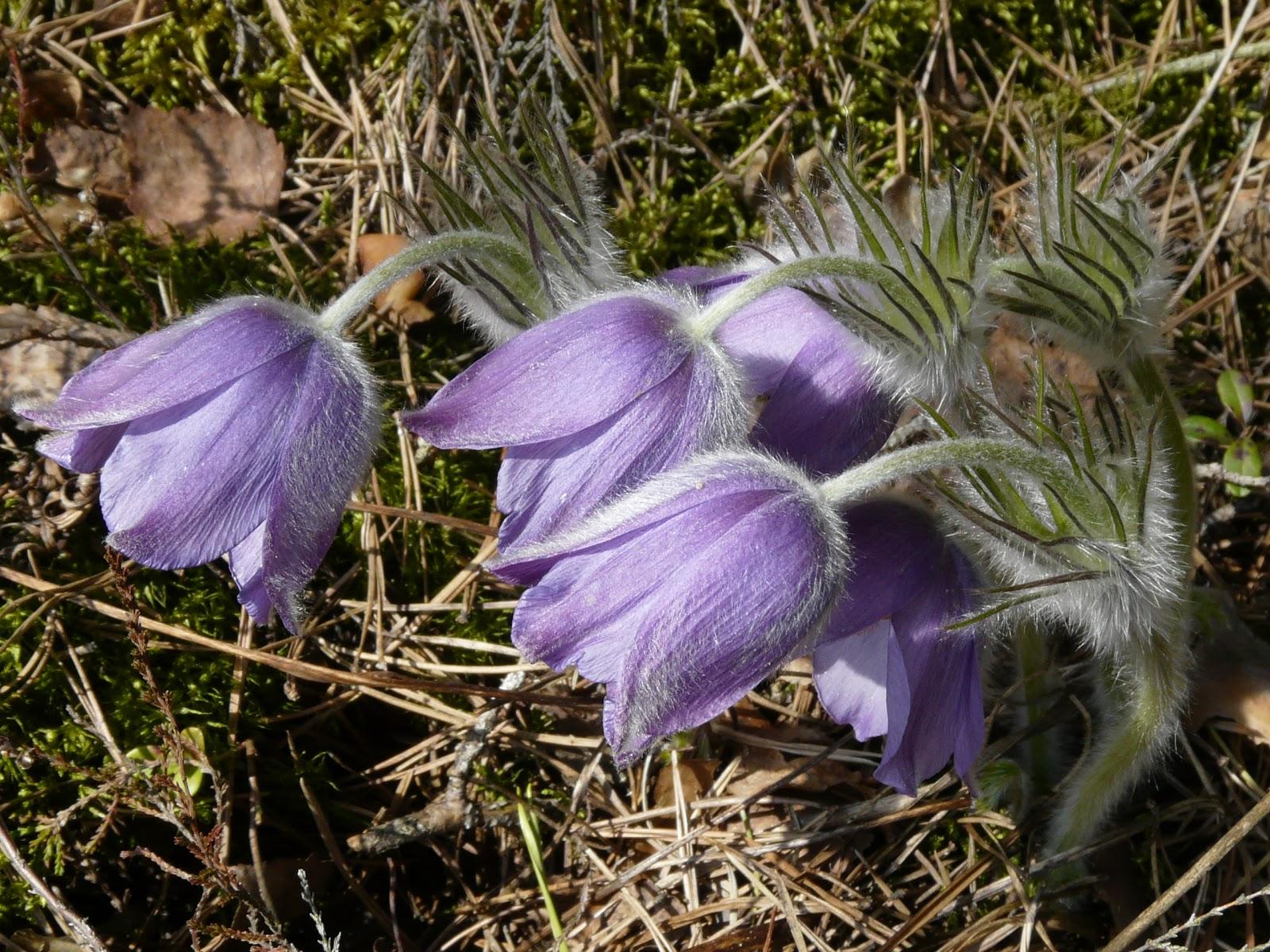 Balandžio mėnesio augalas – šilagėlė
