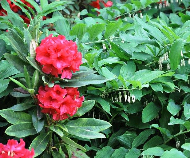 Rododendras / Rhododendron L.