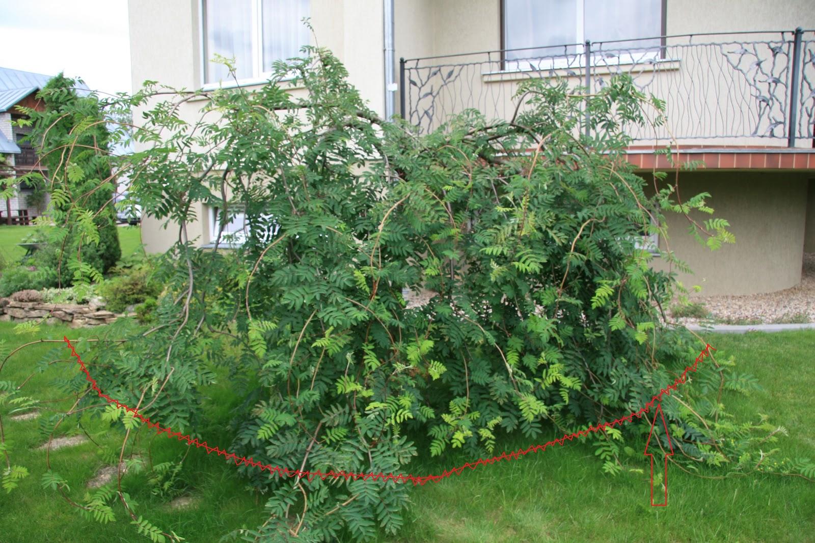 Sumedėjusių augalų genėjimas ir formavimas